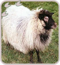 Rare breed of sheep from Iceland